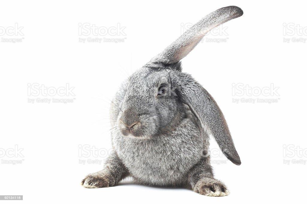 funny bunny royalty-free stock photo