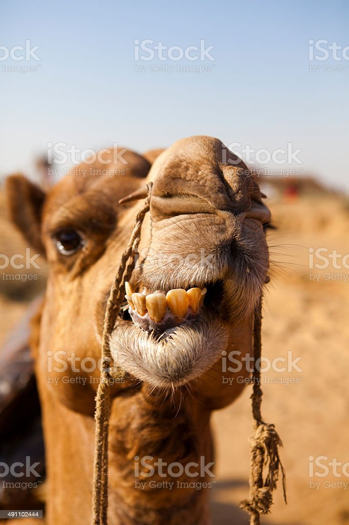 Funny camel face stock photo
