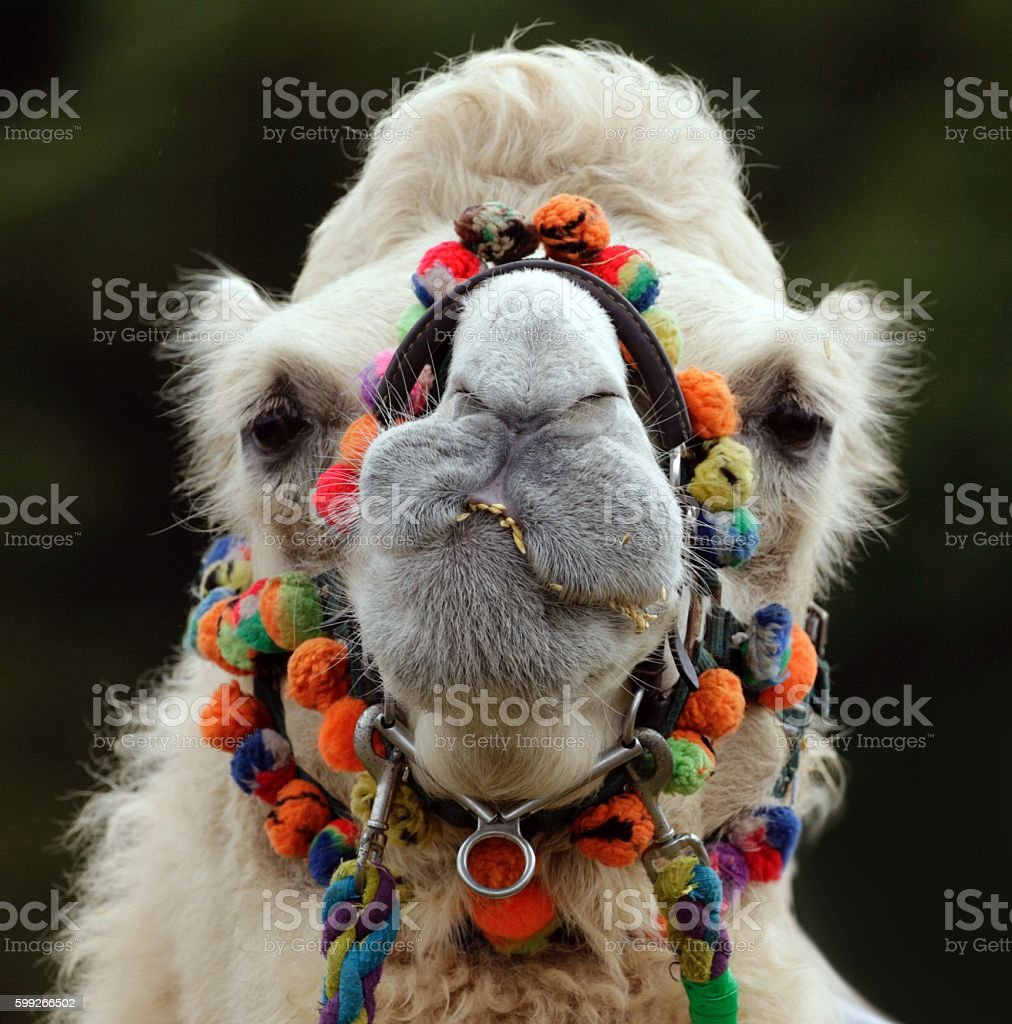 Funny Camel Face stock photo