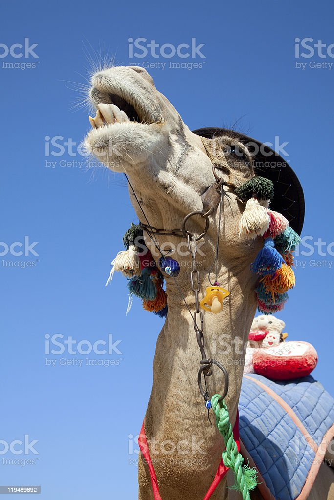 Funny camel royalty-free stock photo