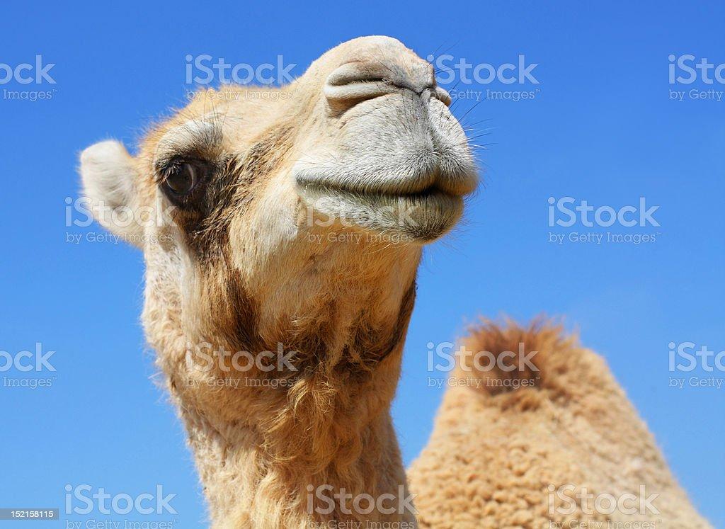 funny camel stock photo