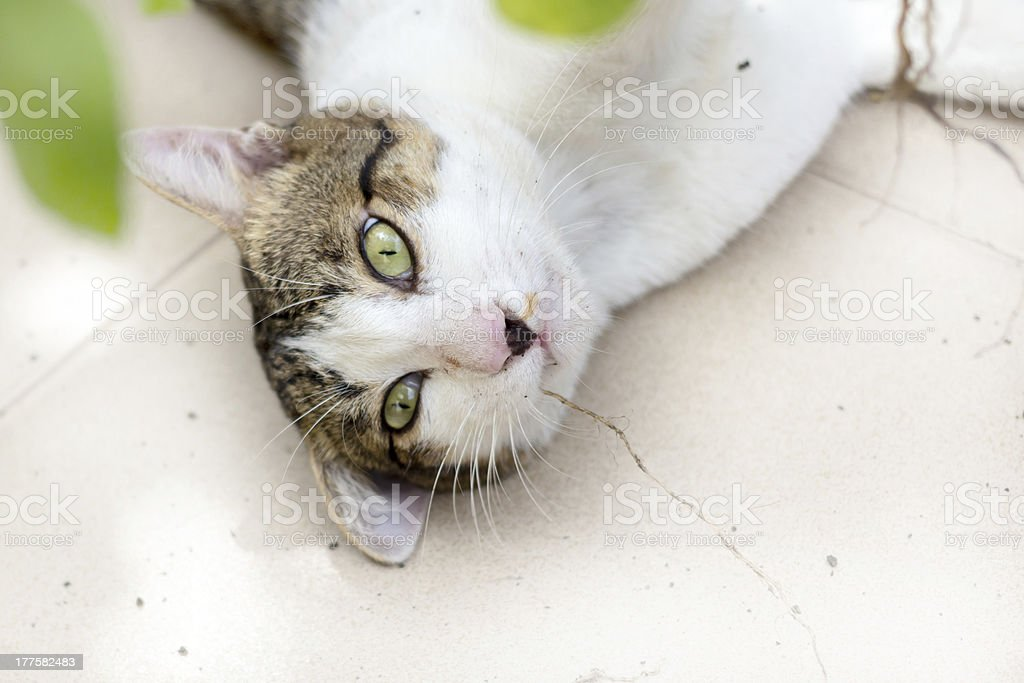 Funny cat enjoys its catmint royalty-free stock photo
