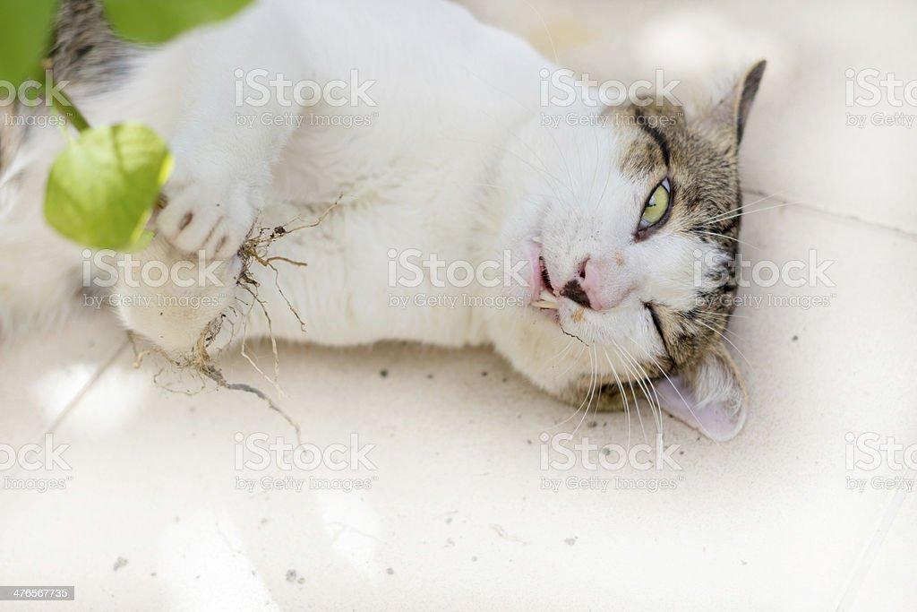 Funny cat enjoys its catmint stock photo