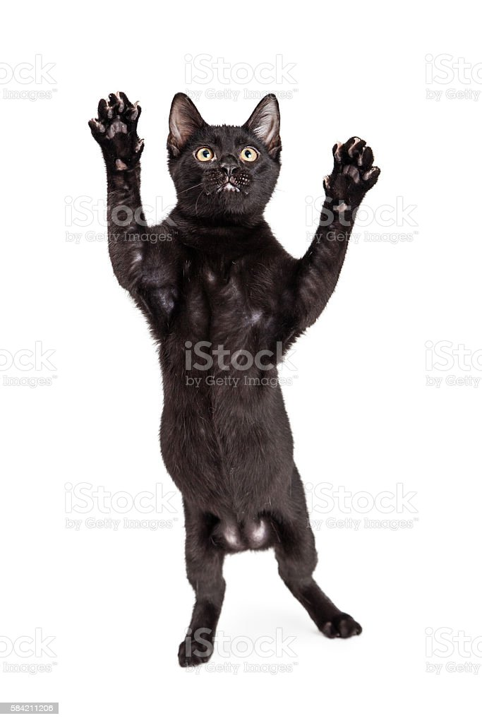 Funny Cat Standing to Pounce stock photo