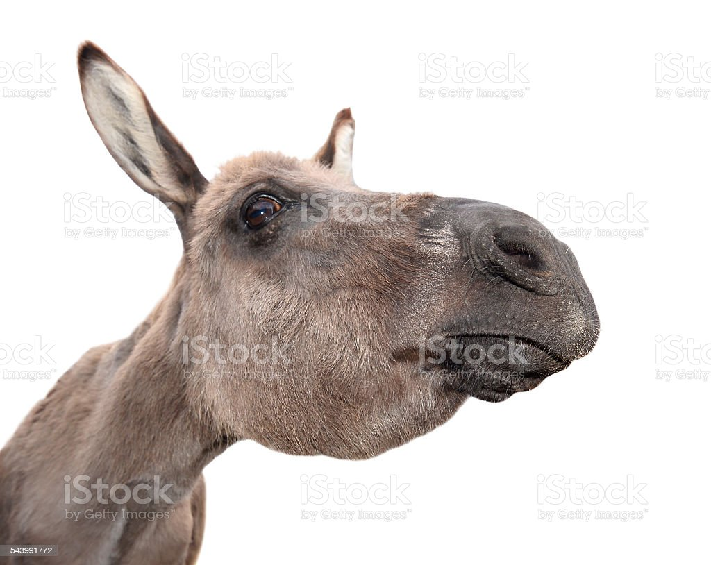 Funny, cheerful and  curious gray donkey stock photo