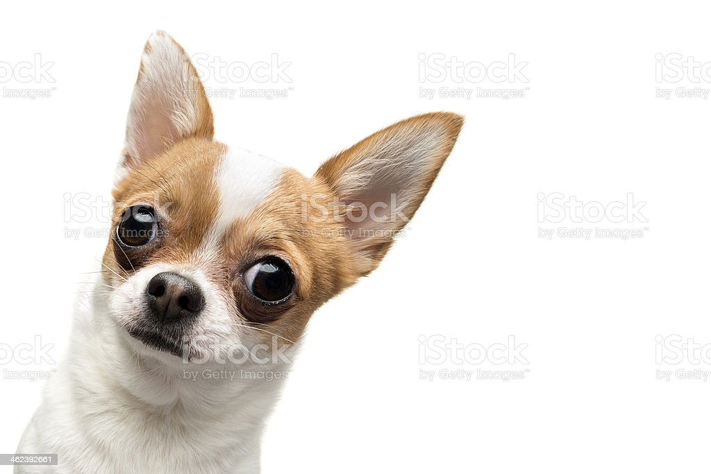 Funny Chihuahua peeping out the frame stock photo