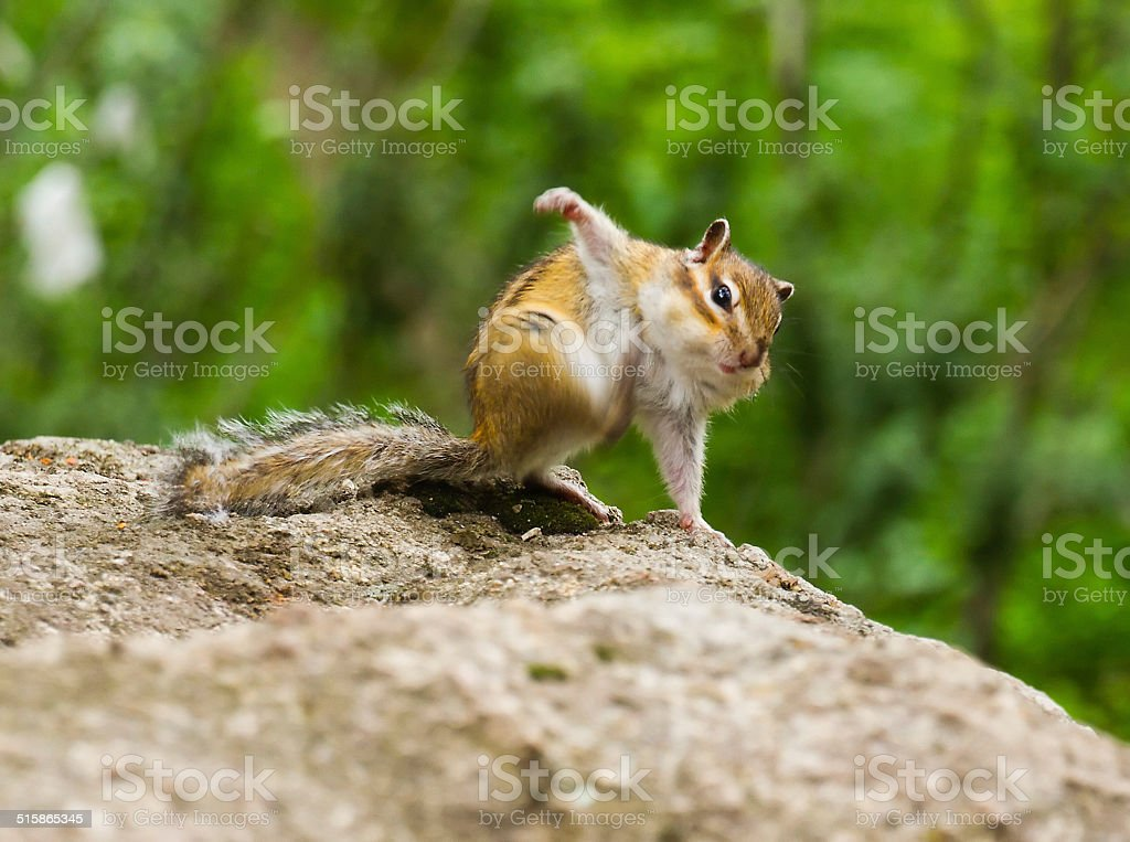 Funny chipmunk stock photo