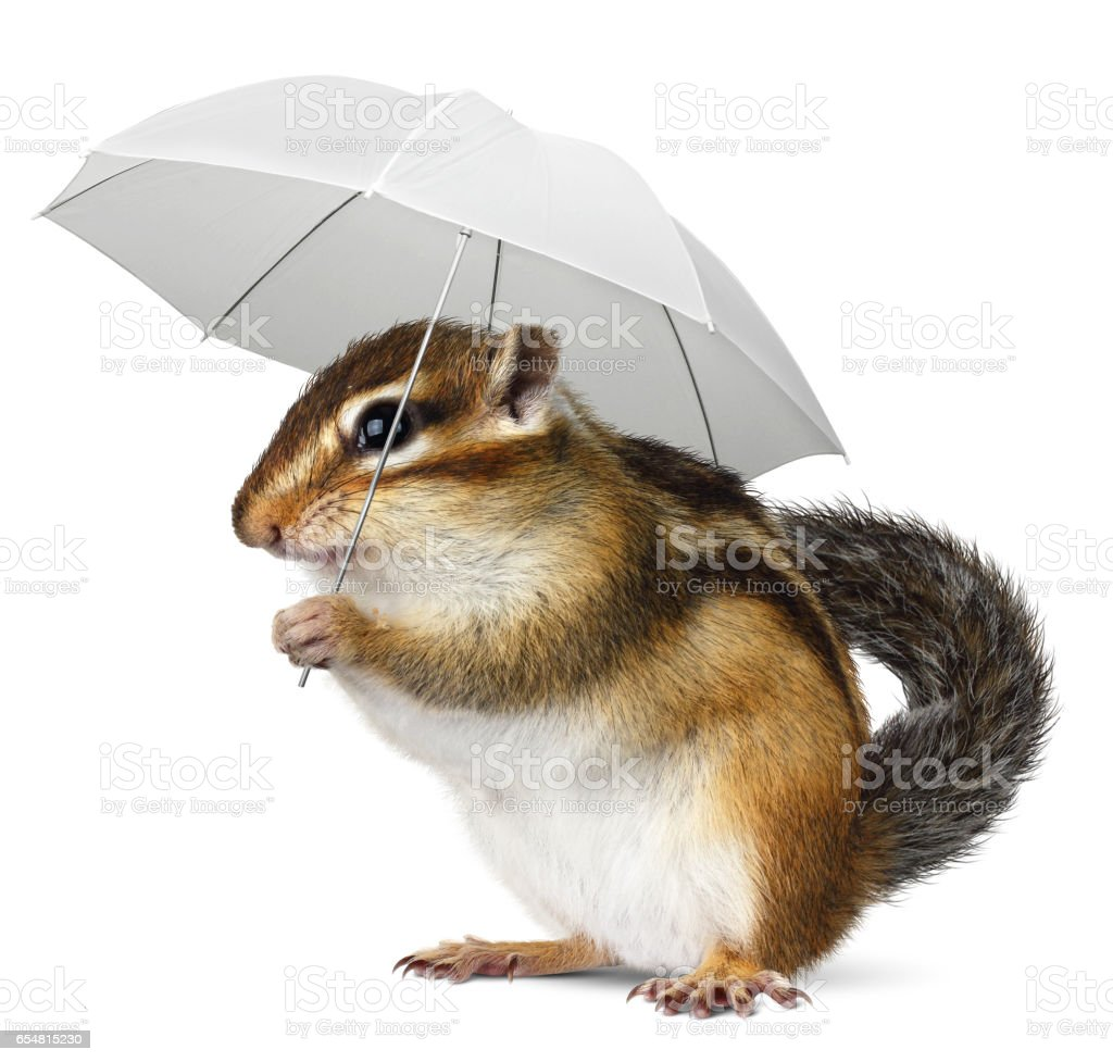 Funny chipmunk with umbrella on white, weather concept stock photo