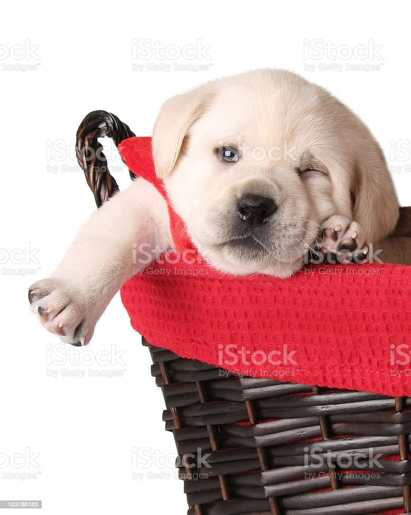 Funny Christmas puppy royalty-free stock photo