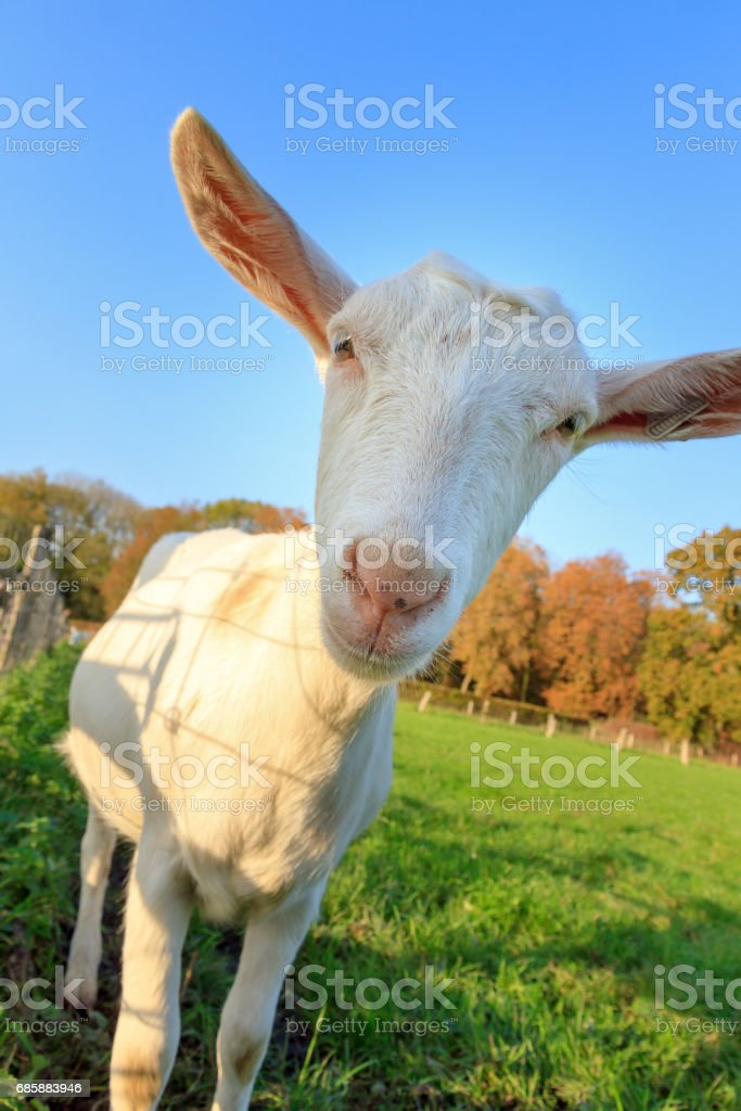 Funny close up goat stock photo