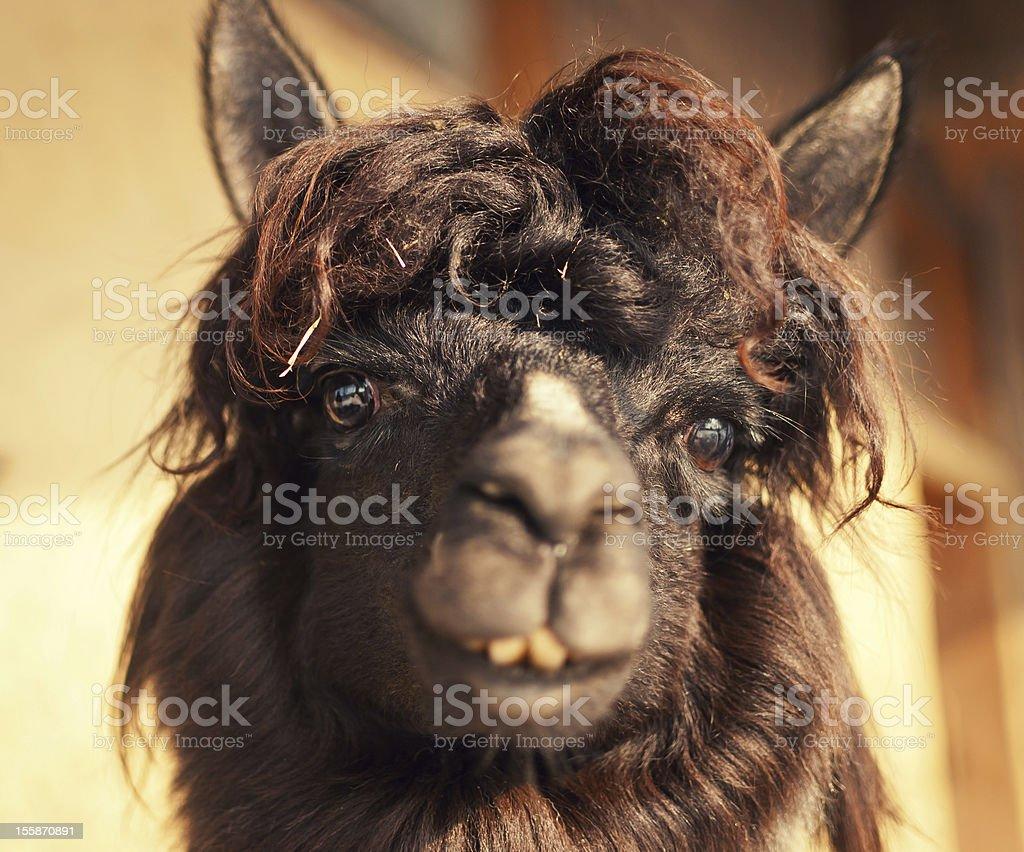 Funny close up of a Peruan alpaca stock photo