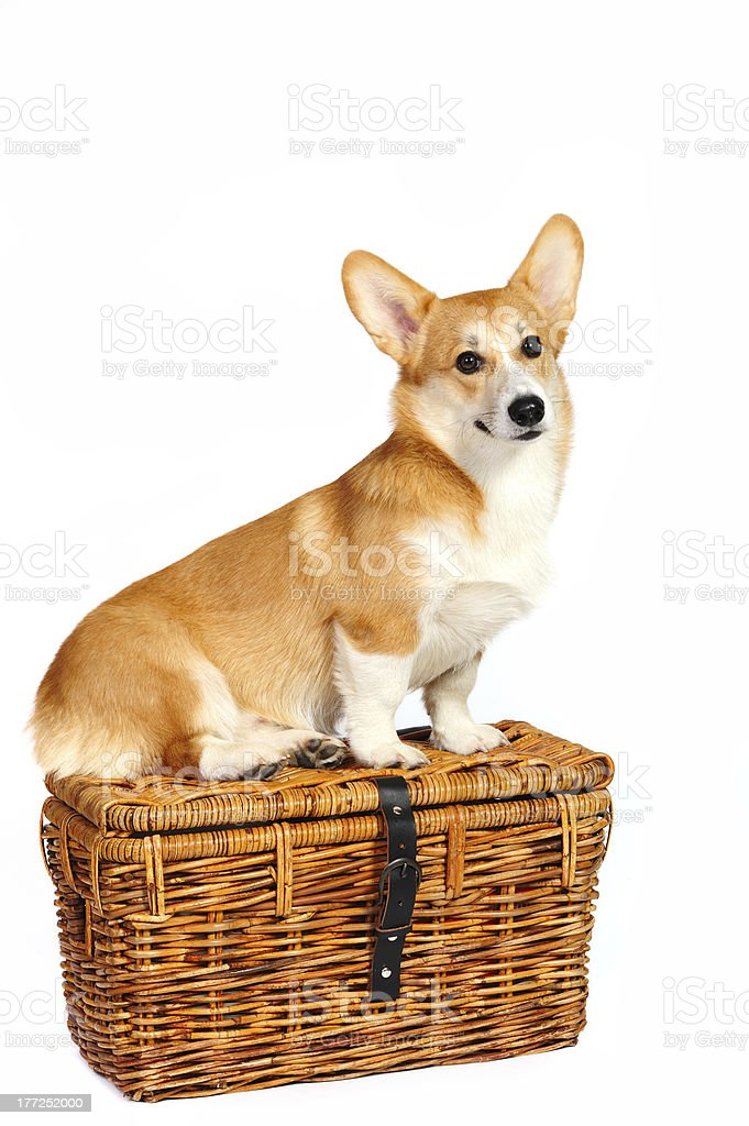 Funny corgi pembroke sitting on a travel basket royalty-free stock photo