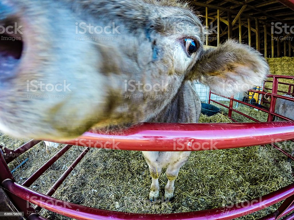 funny cow behind fence at the farm stock photo