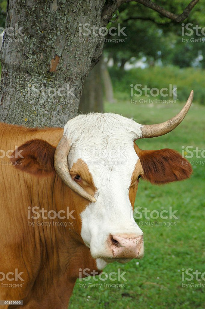 Funny Cow in Austria royalty-free stock photo