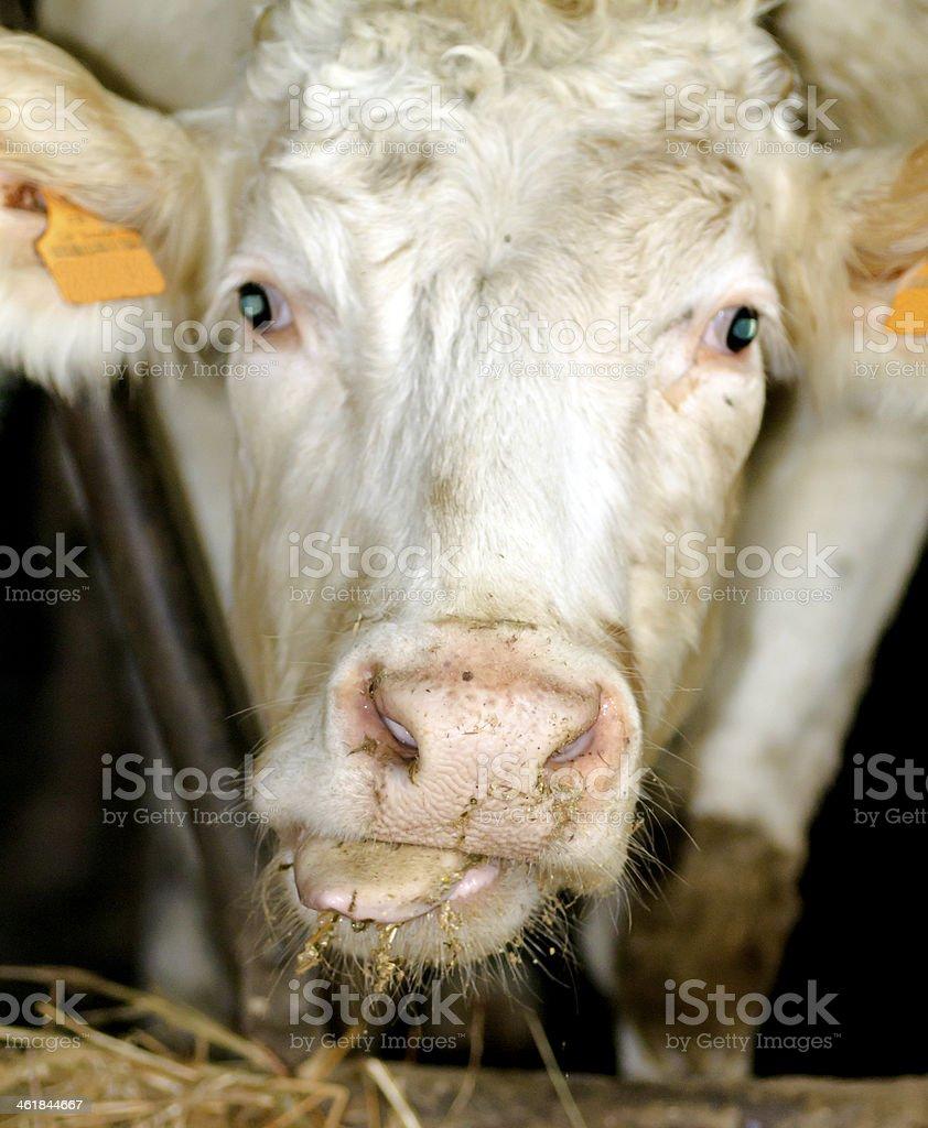 Funny Cow portrait stock photo