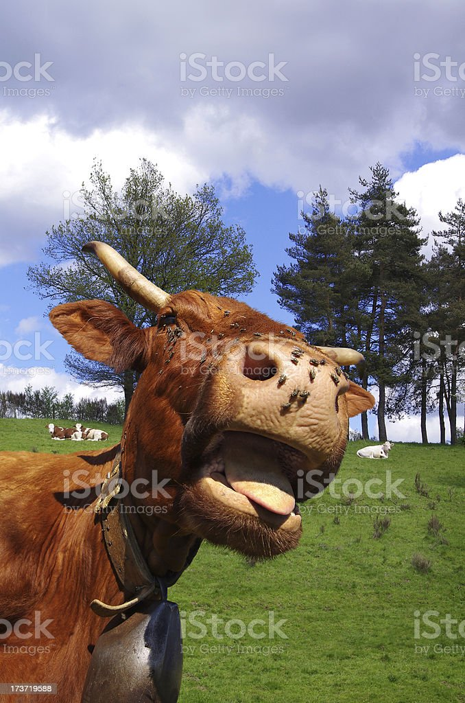 Funny cow – Rural scene royalty-free stock photo