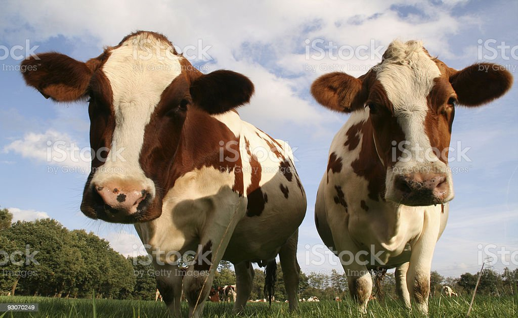 Funny cows royalty-free stock photo
