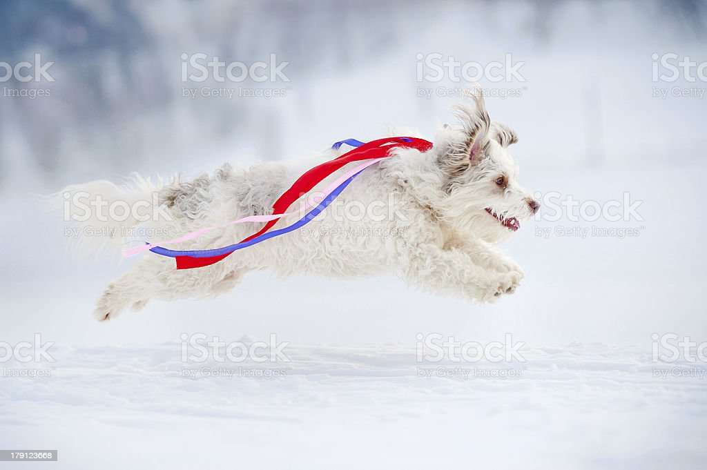 funny curly dog running fast royalty-free stock photo