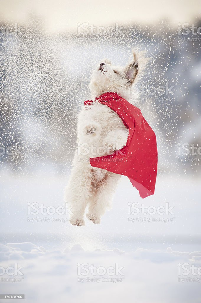 funny curly super dog flying royalty-free stock photo