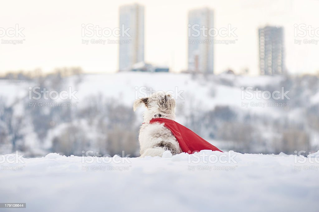 funny curly super dog looks at the city royalty-free stock photo