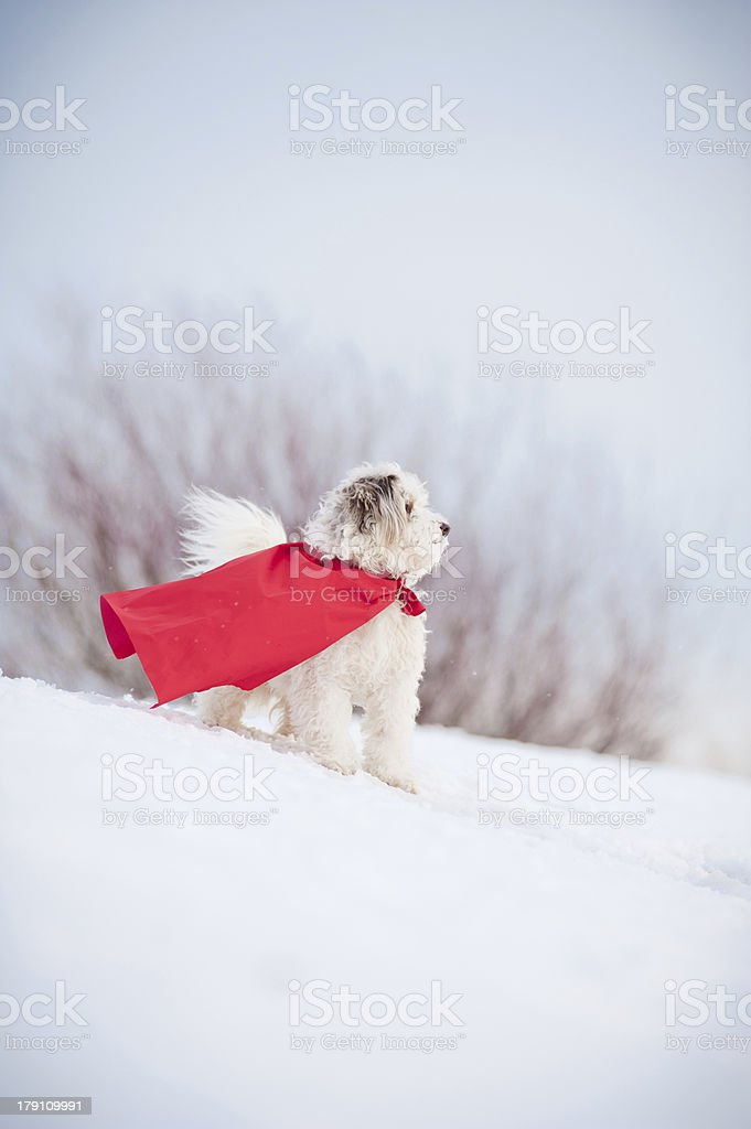 funny curly super dog royalty-free stock photo