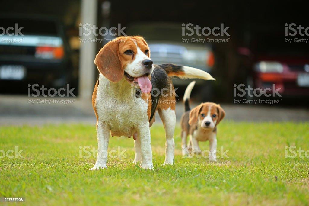 Funny cute beagle dog in park stock photo