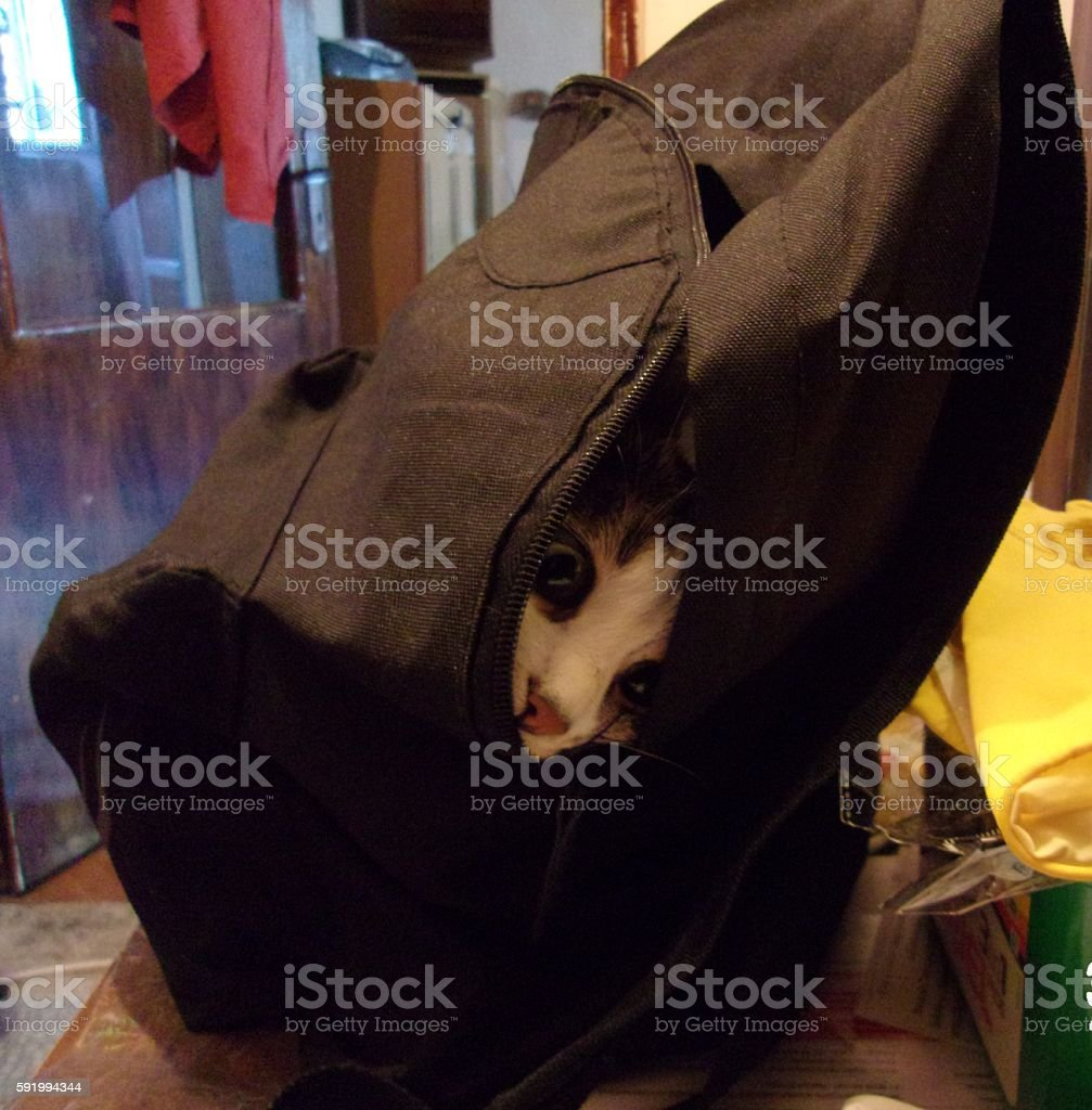 Funny Cute Cat in a backpack stock photo