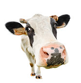 Funny cute cow isolated on white