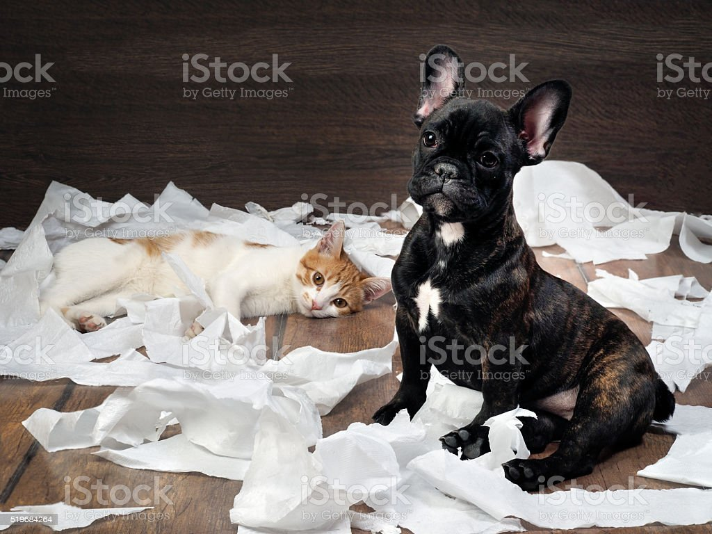Funny dog and cat playing with toilet paper. Dog French Bulldog...