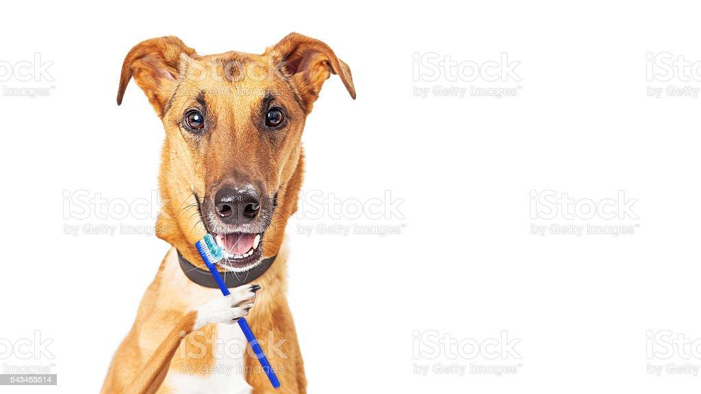 Funny Dog Brushing Teeth stock photo
