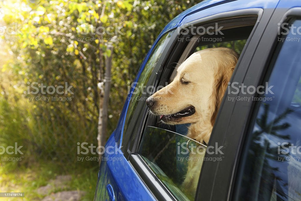 funny dog in blue car royalty-free stock photo