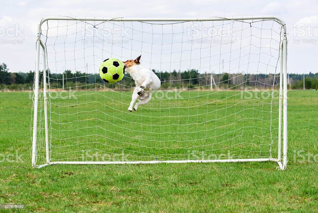 Funny dog jumping and catching football ball at goal stock photo