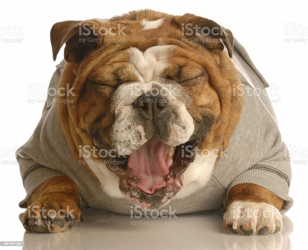 funny dog laughing royalty-free stock photo