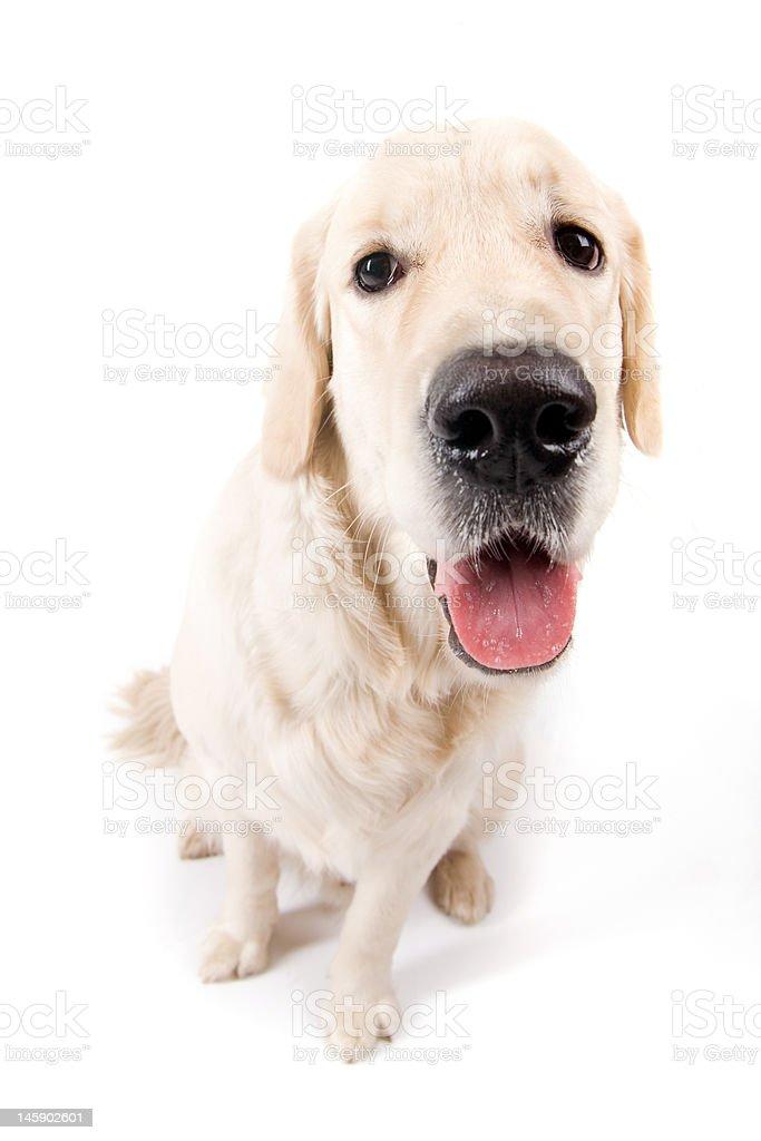 Funny dog royalty-free stock photo
