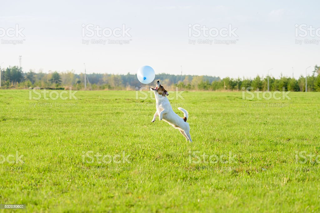 Funny dog playing with blue balloon springs into action stock photo