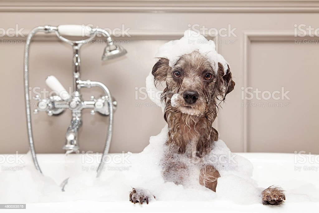 Funny Dog Taking Bubble Bath stock photo