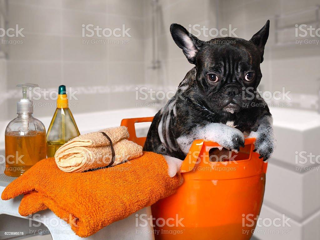 Funny dog wash in a basin, taking a bath stock photo