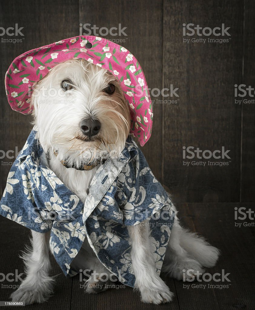 Funny dog wearing flower hat and Hawaiian shirt stock photo