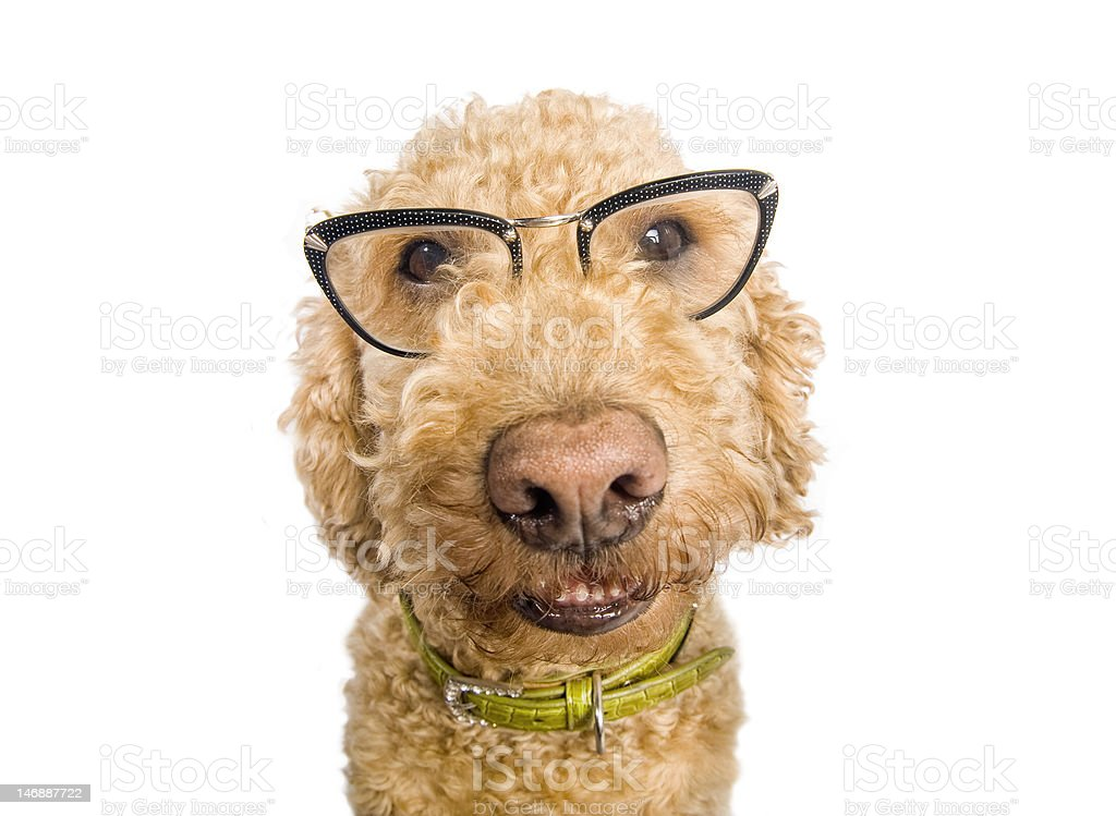 Funny dog with glasses                              (© Lobke Peers) royalty-free stock photo