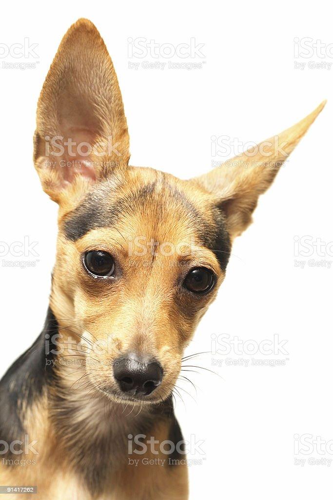 funny doggy royalty-free stock photo