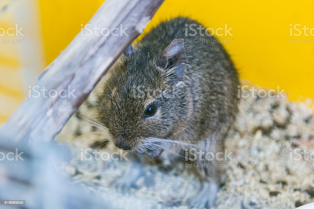 funny domestic degu squirrel in his house stock photo