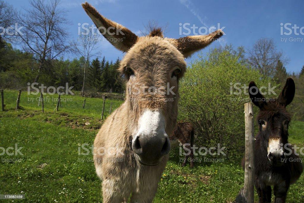 Funny donkeys royalty-free stock photo