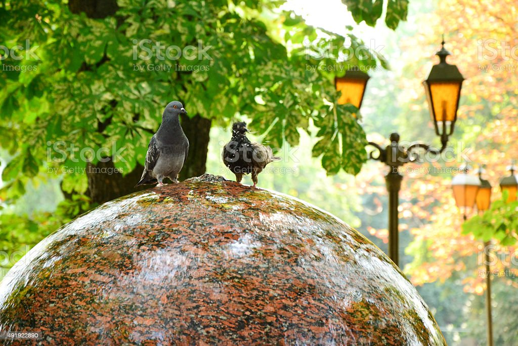 Funny doves on a fountain in autumn park stock photo