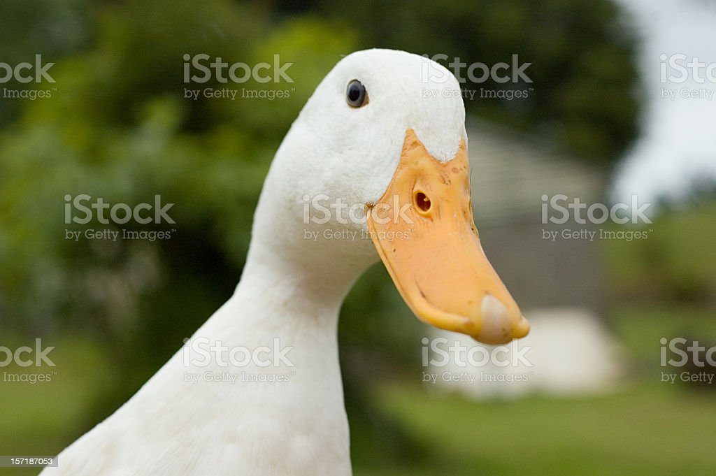 Funny Duck stock photo