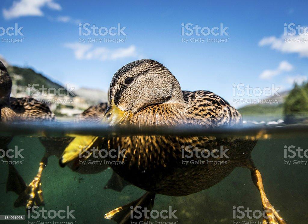 Funny duck stock photo