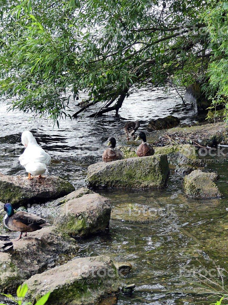 funny ducks stock photo