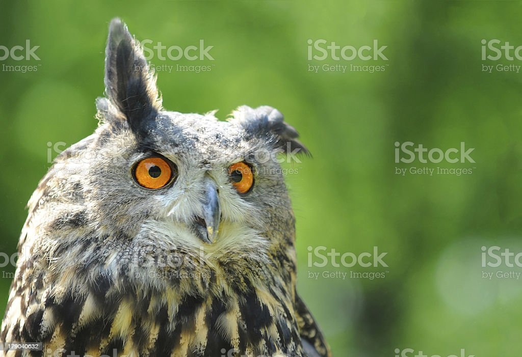 funny Eurasian Eagle Owl with copy space stock photo