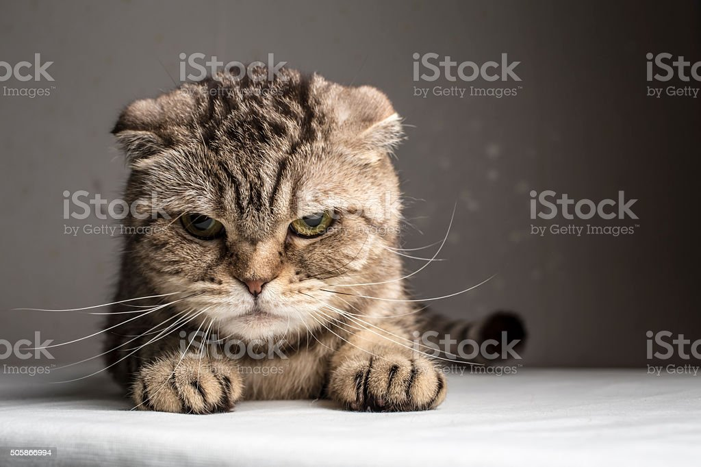 funny evil gray striped cat stock photo