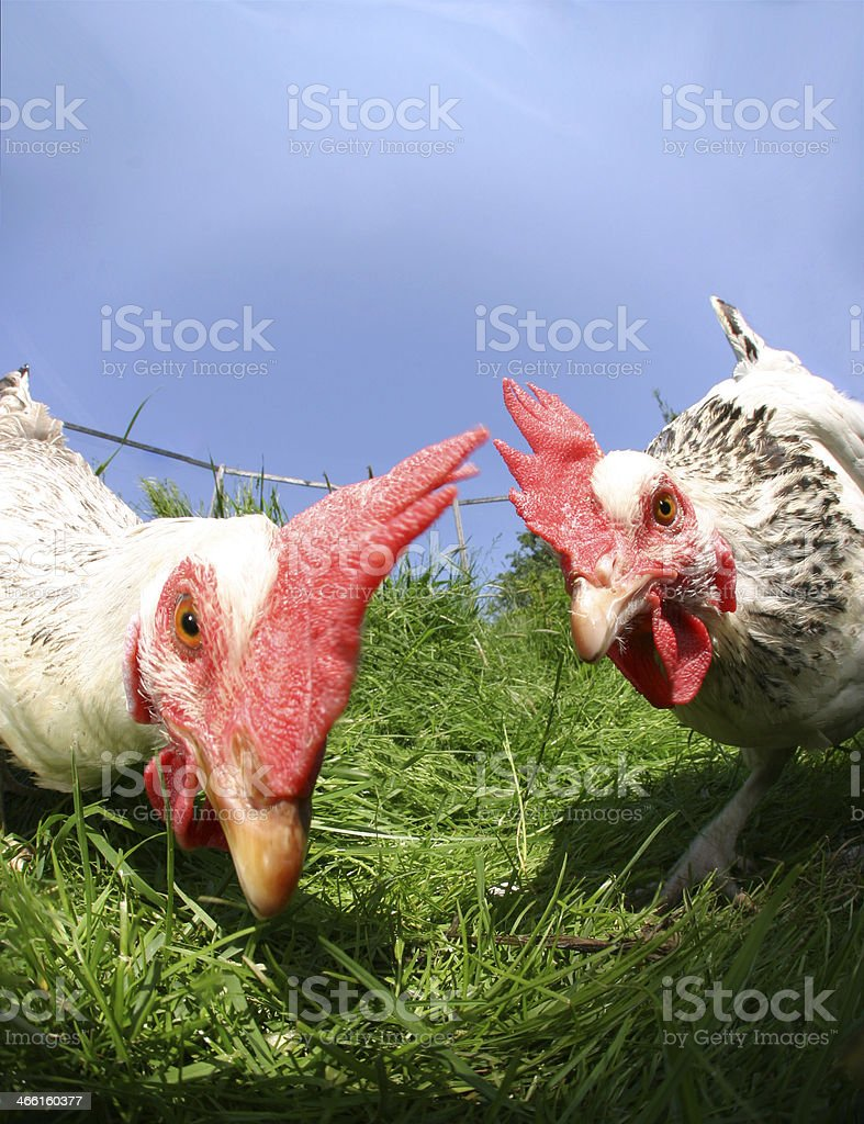 funny exciting hens stock photo