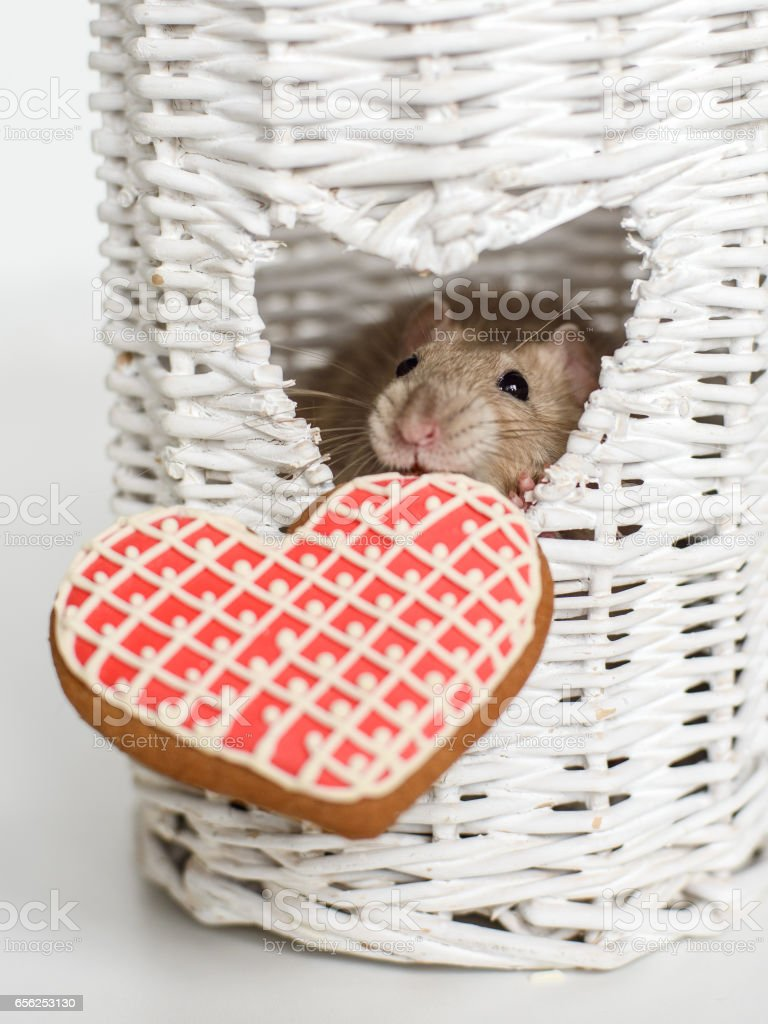 Funny face fancy rat with a heart shape biscuit stock photo
